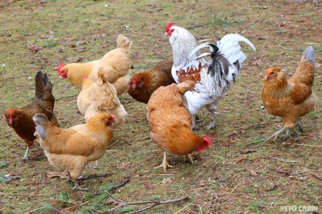 free_range_chickens_wm